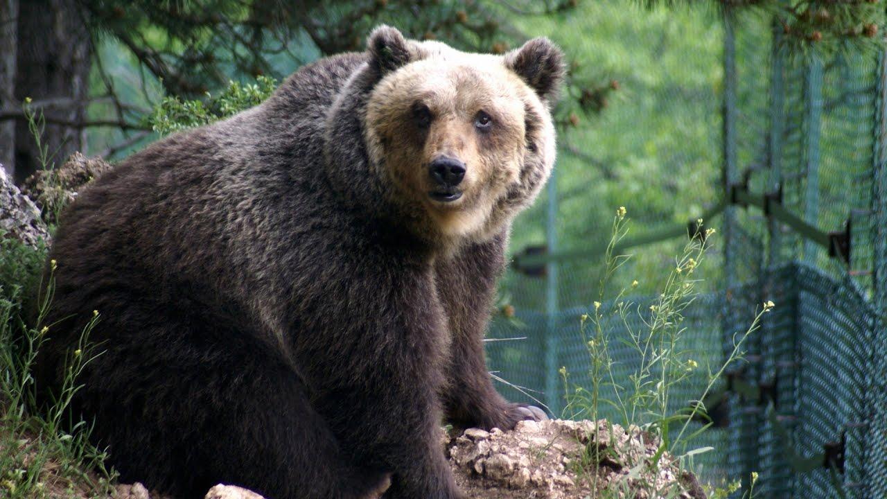 Abruzzo, orso marsicano muore durante la cattura